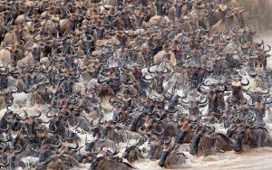 migracion animales kenia