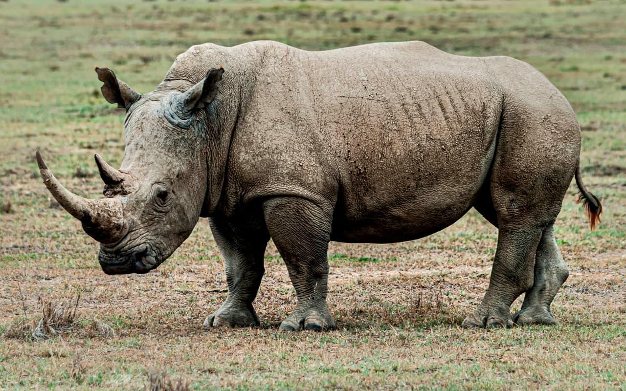 rinoceronte kenia